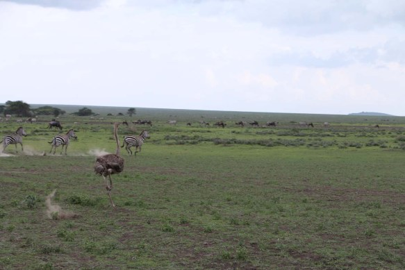 3-ostrich-tanzania-serengetti-safari-animal-jungle-4