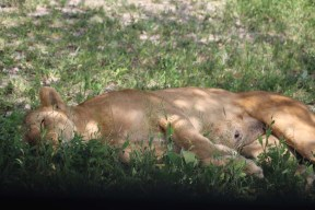 Lioness, Lion, safari, tanzania, jungle, wild life, serengeti