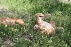 Lioness, Lion, safari, tanzania, jungle, wild life