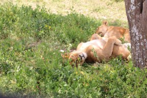 1-lioness-tanzania-serengetti-safari-animal-jungle-14