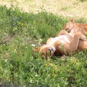 1-lioness-tanzania-serengetti-safari-animal-jungle-14