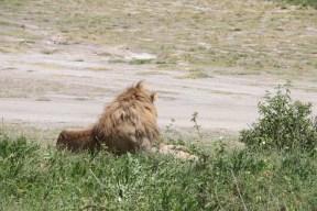lion-tanzania-serengetti-safari-animal-jungle-16