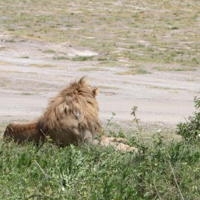 lion-tanzania-serengetti-safari-animal-jungle-16
